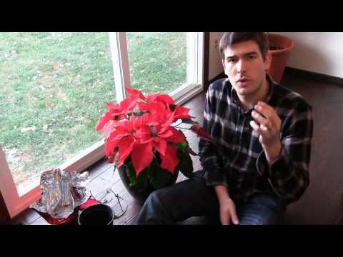 How to Grow Poinsettia Year Round - Complete Growing Guide