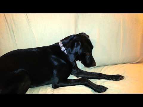 Dog experiencing seizures