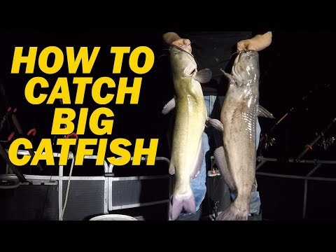How to catch flathead catfish with live bait - Fishing for channel catfish with shad