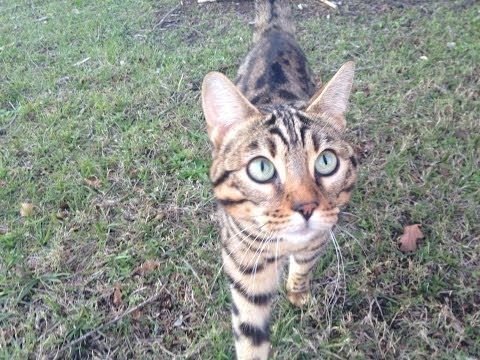 How to Capture a Wild Bengal Cat with ease