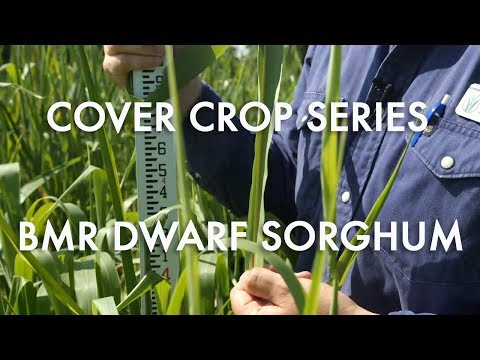 BMR Dwarf Sorghum: Noble Cover Crop Series