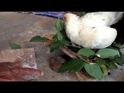 Kodipenu | Murgika joon || How to remove Hen Body Lice