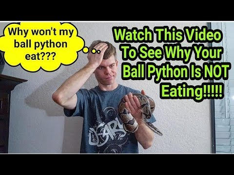 **HOW TO GET YOUR BALL PYTHON TO EAT!!!**