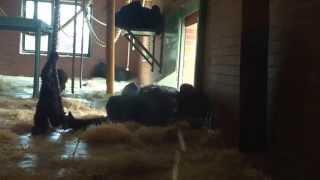 Mum mum mum mum mum mum (baby gorilla at Twycross Zoo )