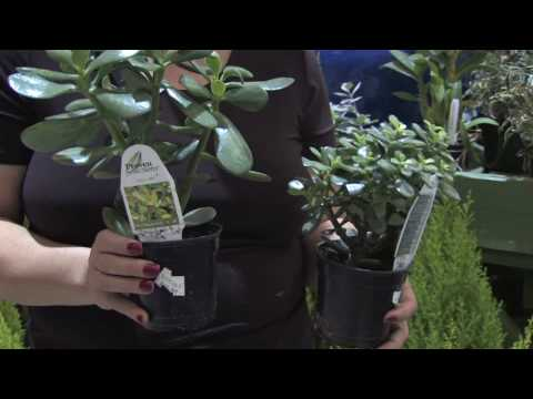 How to Grow Plants & Flowers : How to Care for Indoor Jade Plants