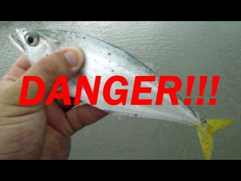 DO NOT TOUCH THIS FISH! Leatherjacket fish