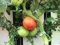 Dutch Bucket Tomatoes vs Aquaponic Tomatoes