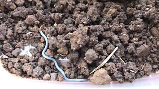 Blue Blind Snake in Hawaii (Worm Snake)