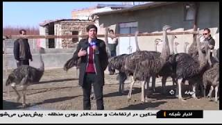Iran Ostrich farming & Egg handling, Mahabad county پرورش شترمرغ و تخم شترمرغ مهاباد ايران