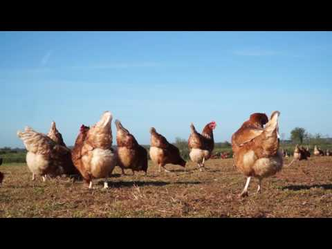 How To Quickly Eradicate Poultry Red Mite From Chickens!