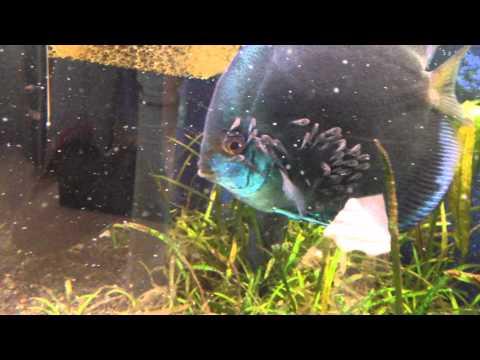 Baby brine shrimp fail