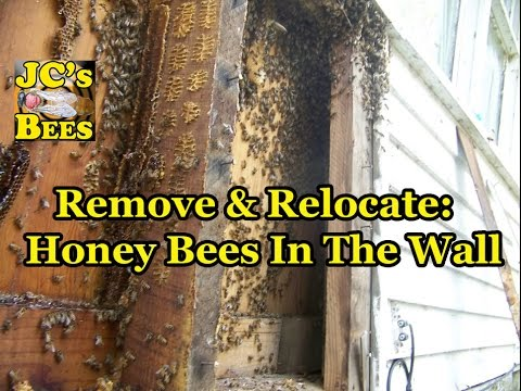 Remove & Relocate: Honey Bees In The Wall