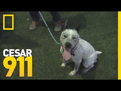 Deleted Scene: Vada at Cesar's Dog Park   Cesar 911