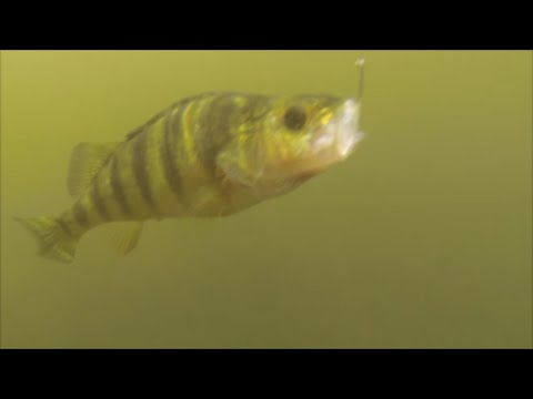 Perch fishing with live bait (minnows)