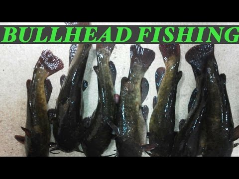 Catching Bullhead for Flathead Catfish Bait!