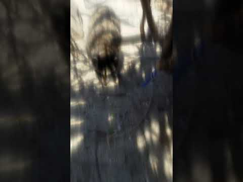 This raccoon lives on the island at Lake Perris