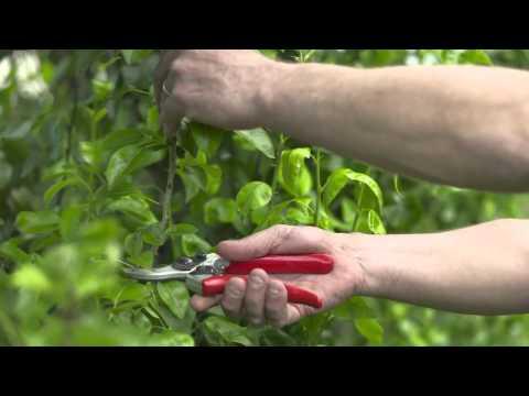Summer Pruning Your Fruit Trees - Blackmoor Nursery