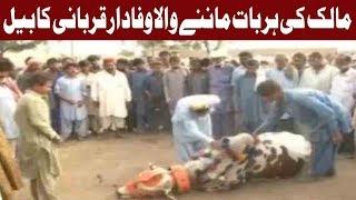 Eidul Azha: Unique & Loyal Sacrificial Animal of Karachi | 16 August 2018 | Express News