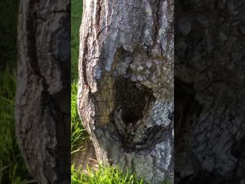 Honey Bees in a down tree now what? (Update)