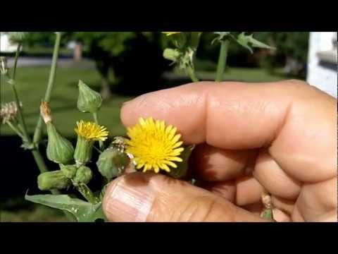 What's That Weed? Spiny-Leaved Sow Thistle