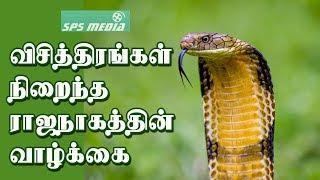 சுயமாய் வளரும் ராஜநாகங்களின் விசித்திரமான வாழ்க்கை | The Secrets of King Cobra | SPS MEDIA