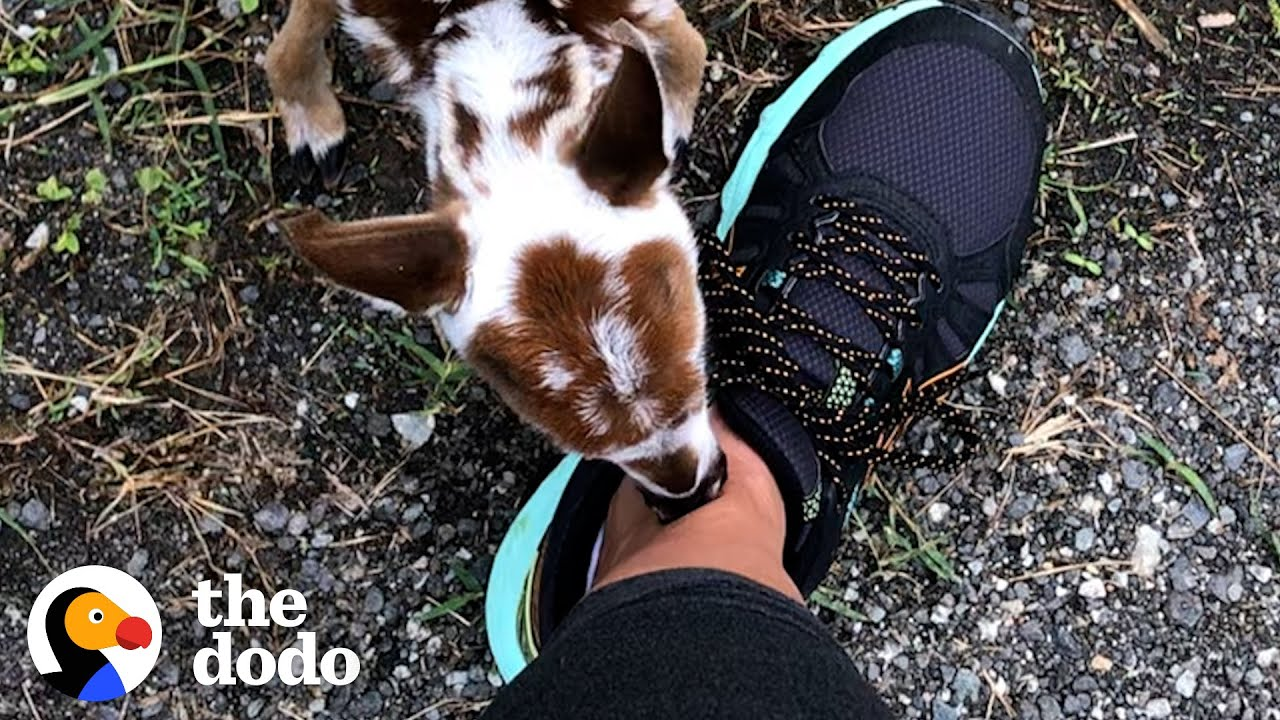 Tiniest Baby Deer Asks Woman To Rescue Him   The Dodo Faith = Restored