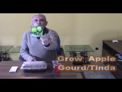 Grow Apple Gourd/Tinda Fast