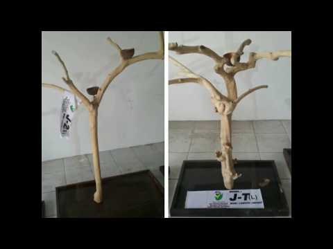 Java wood tree play stand, javawood coffee tree bird perch, multi branches parrot stand