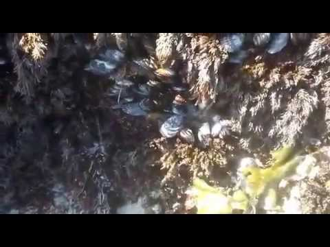 collecting / harvesting California Mussels for bait