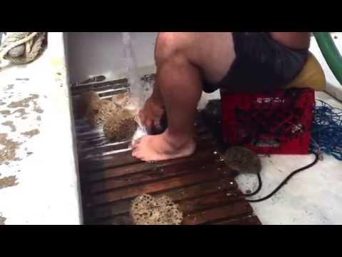 Cleaning Sea Sponges ⛵️ Tropical Sea Sponges