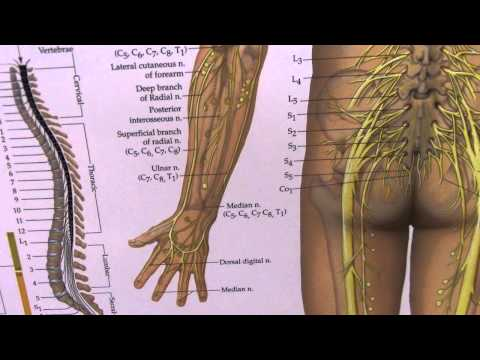 Arm and Hand Numbness, Sciatica and Peripheral Nerves Explained