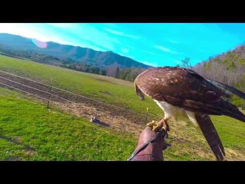 Falconry passage male red-tail hawk flight videos