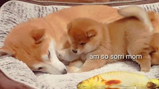 Download Puppy hurt his mom 😥- Shiba Inu puppies (with captions) Video