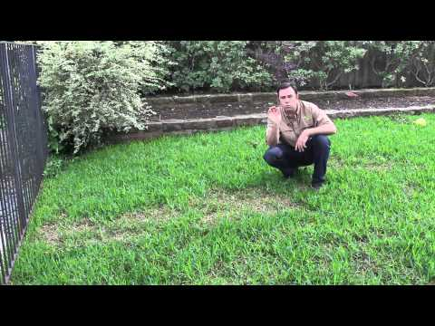 Soils Alive: Brown Patch Disease in St. Augustine Lawn