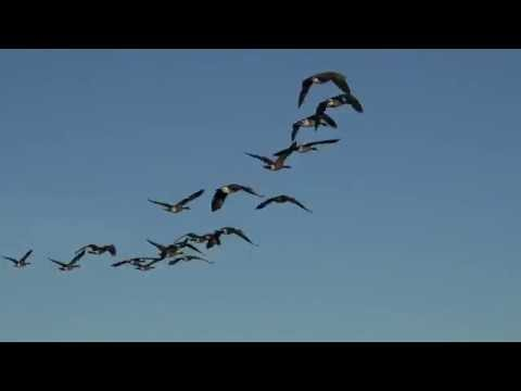 Geese With Flying Sounds