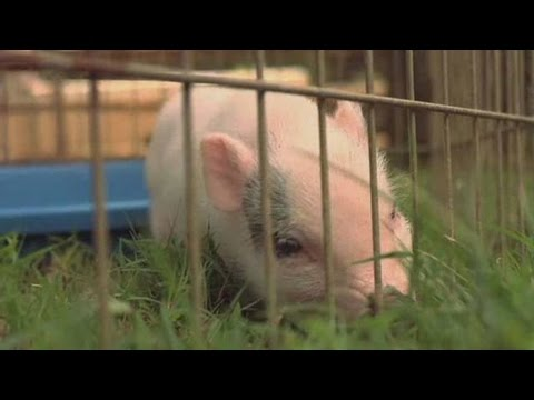 Facts & Myths about Teacup Pigs | Small Pets