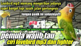 rahasia settingan lovebird gacor mp3 dan lovebird betina fighter