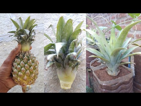Pinapple plantation || How to grow pineapple plant at home || in telugu