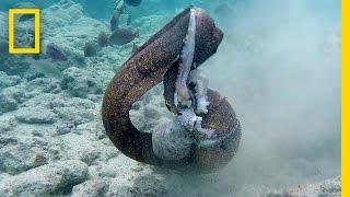 Eel vs. Octopus, Then Eel vs. Cameraman   National Geographic