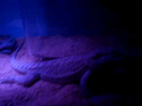 night time for my bearded dragons