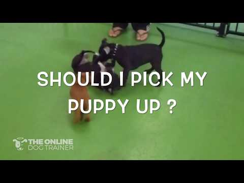 Should I pick my puppy up when socialising?