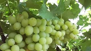 Виноград после экстремальных дождей