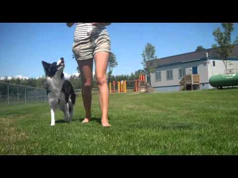 Attention While Walking - How to teach your dog to stay by your side