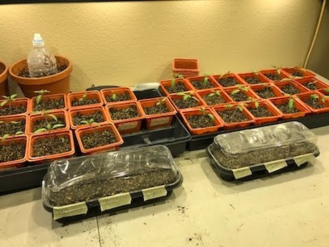 Planting Tomato and Pepper Seeds for Spring