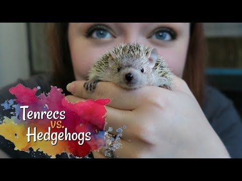 Tenrecs vs. Hedgehogs || How Different Are They Really?