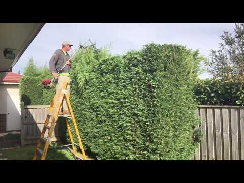 Hedge trimming how to get that straight edge.How to trim a hedge