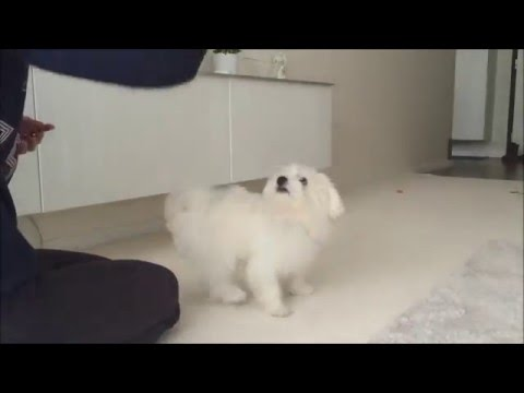 Penny - 5 months old Maltese doing tricks