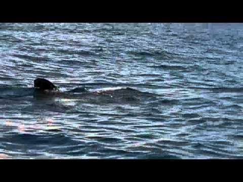 Whale Sharks Playa Del Carmen (Holbox, Mexico)