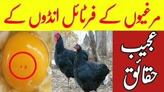 Questions Answers About Australorp Chicks And Hens Business in Urdu