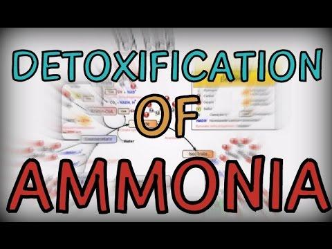 Detoxification of Ammonia in the human body
